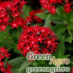 "Пентас ланцетовидный (Pentas lanceolata) ""New Look"" (red) pelleted 250 шт."