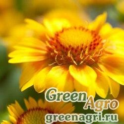 """Гайлардия остистая крупноцветковая (Gaillardia aristata grandiflora) """"Arizona"""" (apricot) raw 1000 шт."""
