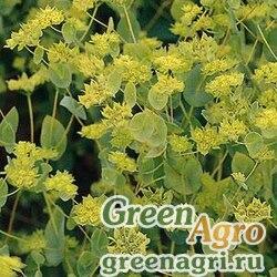 "Володушка круглолистная (Bupleurum rotundifolium) ""Griffiti"" (green) raw 1000 шт."