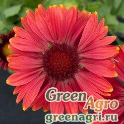 "Гайлардия остистая крупноцветковая (Gaillardia aristata grandiflora) ""Arizona"" (red shades) raw 1000 шт."