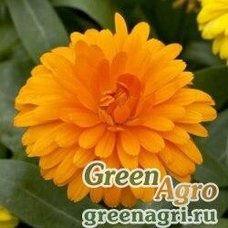 "Календула лекарственная (Calendula officinalis) ""Costa"" (orange) raw 1000 шт."