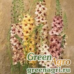"Коровяк гибридный (Verbascum x hybrida) ""Southern Charm"" (MIX) pelleted 1000 шт."