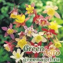 """Аквилегия гибридная (Aquilegia hybrida) """"Mckana giants"""" (mix) 25 гр."""