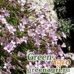 Гипсофила ползучая (Gypsophila repens) (rose) 20 гр.