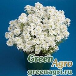 Иберис вечнозеленый Тахо 250шт