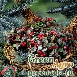 Гаультерия лежачая Gaultheria procumbens Winter Pearls red baron Primed 1000