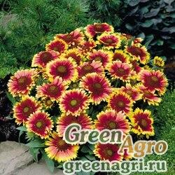 "Гайлардия остистая крупноцветковая (Gaillardia aristata grandiflora) ""Arizona"" (sun) raw 1000 шт."