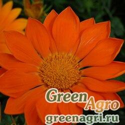 "Гацания жестковатая (Gazania rigens) ""Enorma"" (orange) raw 1000 шт."