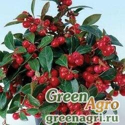 Гаультерия лежачая Gaultheria procumbens VERY BERRY RED Tuned 5000