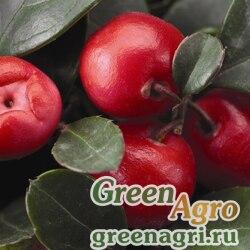 Гаультерия лежачая Gaultheria procumbens Winter Pearls big berry gaubi Primed 1000