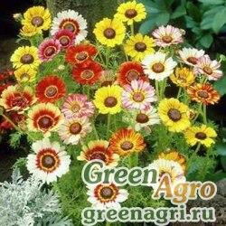 Хризантема килеватая Смесь окрасок  (упак-50 гр.)