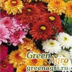 Хризантема килеватая Данетти  (упак-50 гр.)