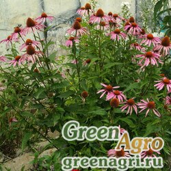 Семена Эхинацея пурпурная (Echinacea purpurea) 30 гр.