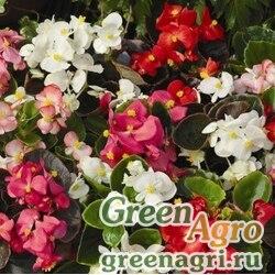 """Бегония вечноцветущая (бронзовая листва) (Begonia semperflorens) """"Bada Boom F1"""" (mix) pelleted 1000 шт."""