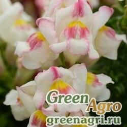 "Львиный зев (Антирринум) большой (Antirrhinum majus) ""Snapshot F1"" (appleblossom) raw 250 шт."