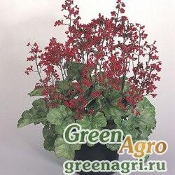 Гейхера кроваво-красная Heuchera sanguinea Ruby Bells Deep Red Raw 1000