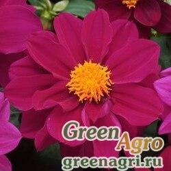 "Георгина гибридная (Dahlia hybrida) ""Figaro"" (violet shades) raw 1000 шт."