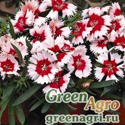 "Гвоздика китайская (Dianthus chinensis) ""Super Parfait F1"" (red peppermint) pelleted 1000 шт."