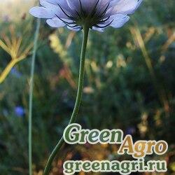 "Скабиоза голубиная (Scabiosa columbaria) ""Blue Note"" (blue) raw 1000 шт."
