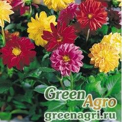 """Георгина изменчивая (Dahlia variabilis) """"Garden Pride"""" (mix) raw 1000 шт."""