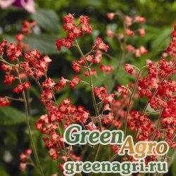 """Гейхера кроваво-красная (Heuhera sanguinea) """"Coral forest"""" (coral) Raw 1000 шт."""