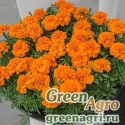 "Бархатцы отклоненные (Tagetes patula) ""Chica"" (orange) detailed 1000 шт."