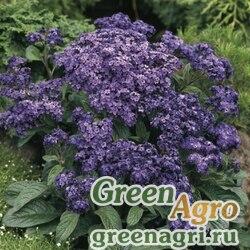 "Гелиотроп перуанский (Heliotropium arborescens) ""Marine"" (deep blue) raw Произв. 1000 шт."