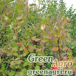 Береза кустарниковая (Betula fruticosa) 15 г