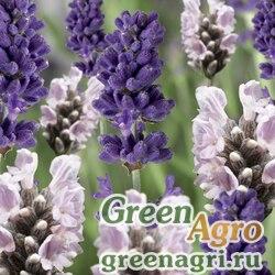 "Лаванда узколистная (Lavandula angustifolia) ""Blue Scent"" (blue and white scent early mix) primed 1000 шт."