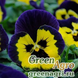 "Виола Виттрока (Viola wittrockiana) ""Matrix F1"" (yellow purple wing) raw 1000 шт."