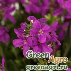 """Арабис реснитчатолистный (Arabis blepharophylla) """"Barranca"""" (pink) raw 1000 шт."""