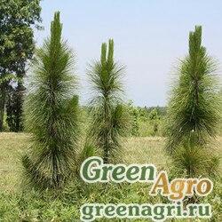 """Сосна болотная (Pinus palustris) """"GA"""" 10 гр."""