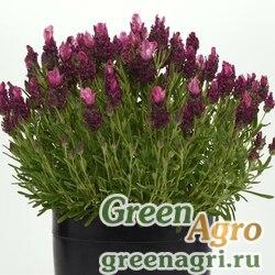 "Лаванда узколистная (Lavandula angustifolia) ""Bandera"" (deep rose) raw 500 шт."