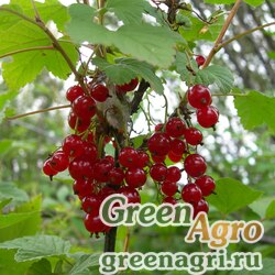 Смородина колосистая (Ribes spicatum) 10 г