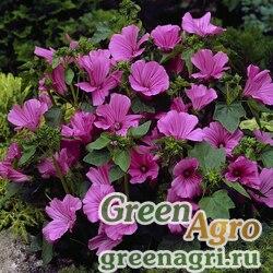 "Лаватера трёхмесячная (Lavatera trimestris) ""Novella"" (rose) raw 100 шт."