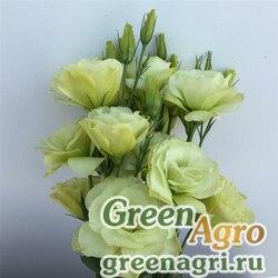 "Лизиантус (Эустома) крупноцветковый (Lisianthus grandiflorum) ""Flare F1"" (jade) pelleted 1000 шт."