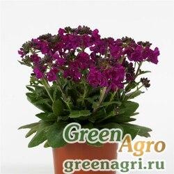 """Арабис реснитчатолистный (Arabis blepharophylla) """"Barranca"""" (deep rose) raw 1000 шт."""