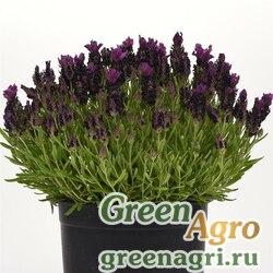 "Лаванда узколистная (Lavandula angustifolia) ""Bandera"" (deep purple) raw 500 шт."