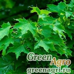 Клен остролистный (Acer platanoides) 350 гр.