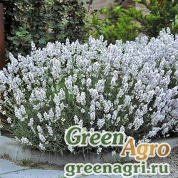 "Лаванда узколистная (Lavandula angustifolia) ""ELLAGANCE"" (SNOW) raw Произв. 500 шт."