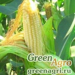 Семена Кукуруза, Бельмондо, 1 п.е., Saatbau