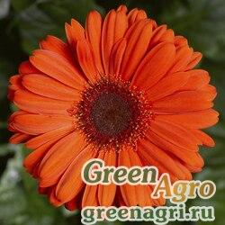 Гербера Джеймсона Gerbera jemesonii Bengal F1 orange with eye Coated 1000