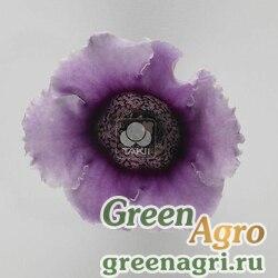 """Глоксиния гибридная (Sinningia hybrida) """"Empress F1"""" (lavender bicolour) raw 1000 шт."""