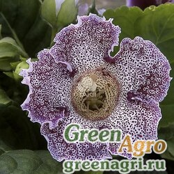 "Глоксиния гибридная (Sinningia hybrida) ""Empress F1"" (purple spotted) raw 1000 шт."