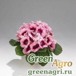 """Глоксиния гибридная (Sinningia hybrida) """"Empress F1"""" (pink bicolour) raw 1000 шт."""