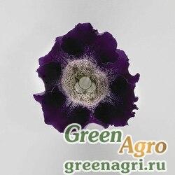 "Глоксиния гибридная (Sinningia hybrida) ""Empress F1"" (purple spotted throat) raw 1000 шт."