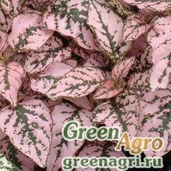 """Гипоэстес листоколосниковый (Hypoestes phyllostachya) """"Splash Select"""" (pink) raw 1000 шт."""