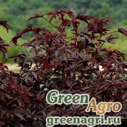 "Гибискус кислый (Hibiscus acetosella) ""Mahogany Splendor"" (mahogany) raw 100 шт."