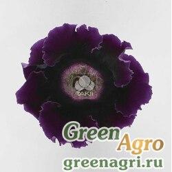 "Глоксиния гибридная (Sinningia hybrida) ""Empress F1"" (purple) raw 1000 шт."