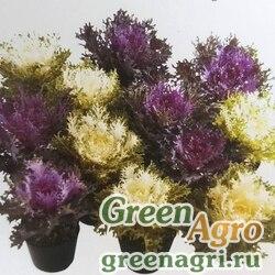 Декоративная капуста Brassica oleracea Rias F1 Rias Raw 1000